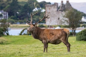 Stag in front of Lochranza Castle