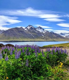 Lupine, Fjords, and Mountains for Days