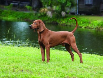 redbone coon dog