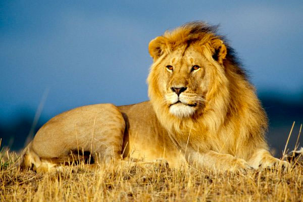 Quizagogo - true or false - A lion has just as many teeth as humans.