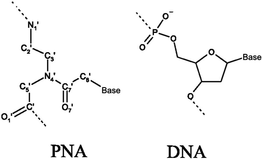 STAAR Review Day 5 DNA Structure and Molecular Genetics