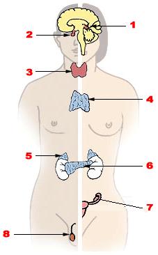 Hormon Manusia : hormon, manusia, Sistem, Endokrin, Biology, Quizizz