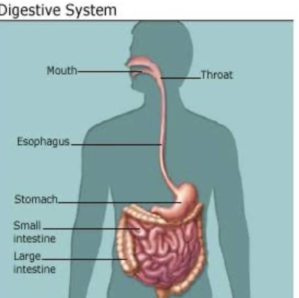 medium resolution of Science 5th grade. Digestive system   Science Quiz - Quizizz