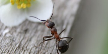 formiga preta com marrom andando sob uma tábua em direção a uma flor