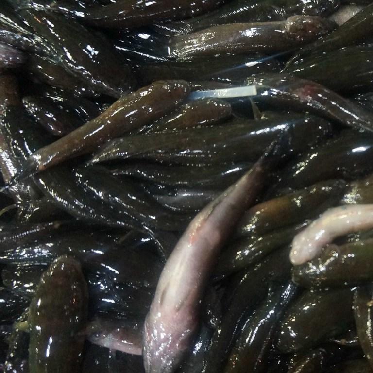 Cá bống dừa tươi
