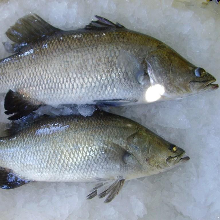 Cá chẽm tươi xếp trên đá lạnh