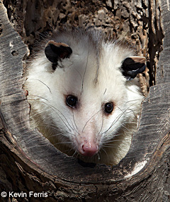Oppossum, photo by Kevin Ferris