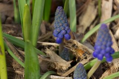 Honey bee on grape hyacinth