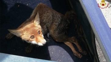 Cade nella vecchia vasca di una fontana, volpe salvata dai vigili del fuoco