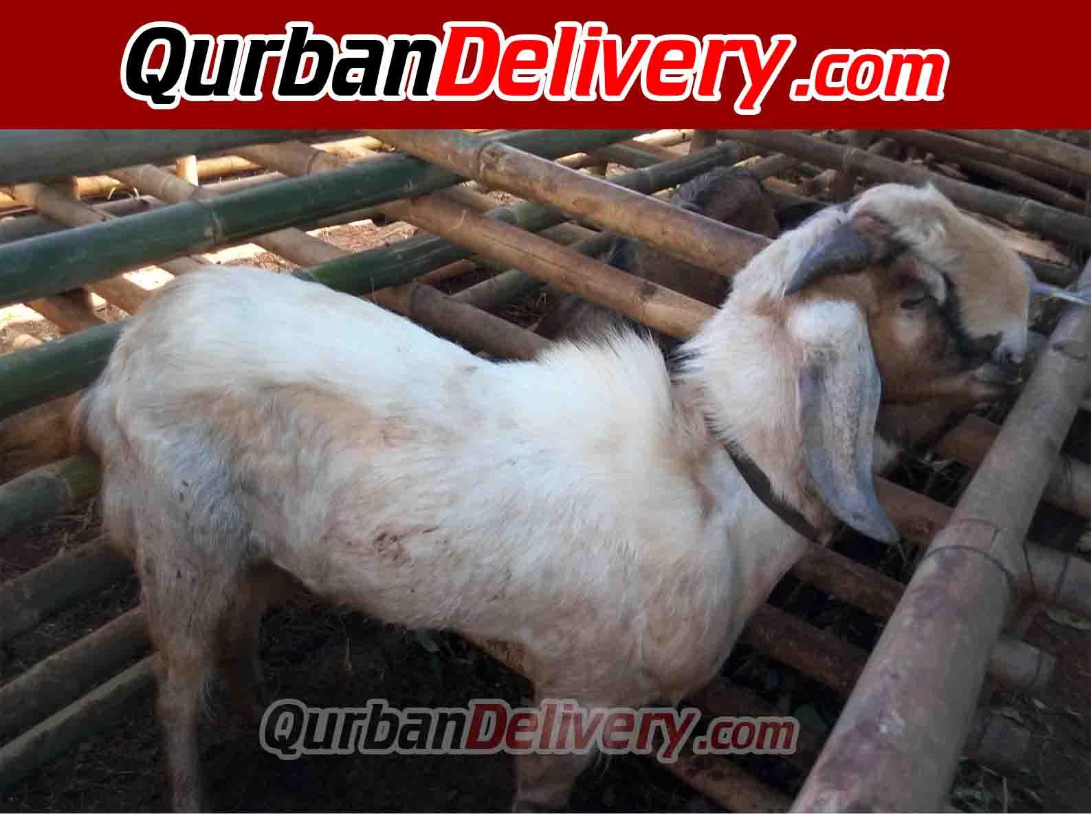 Namun, sebagai acuan berikut harga kambing qurban 2021 jakarta,. Harga Sapi Limosin Qurban Di Cikarang Prediksi 2021-Qurban Delivery