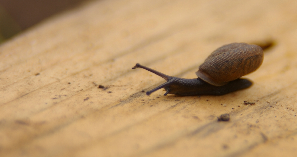 A close-up image of a brown snail slowly crossing a wooden plank