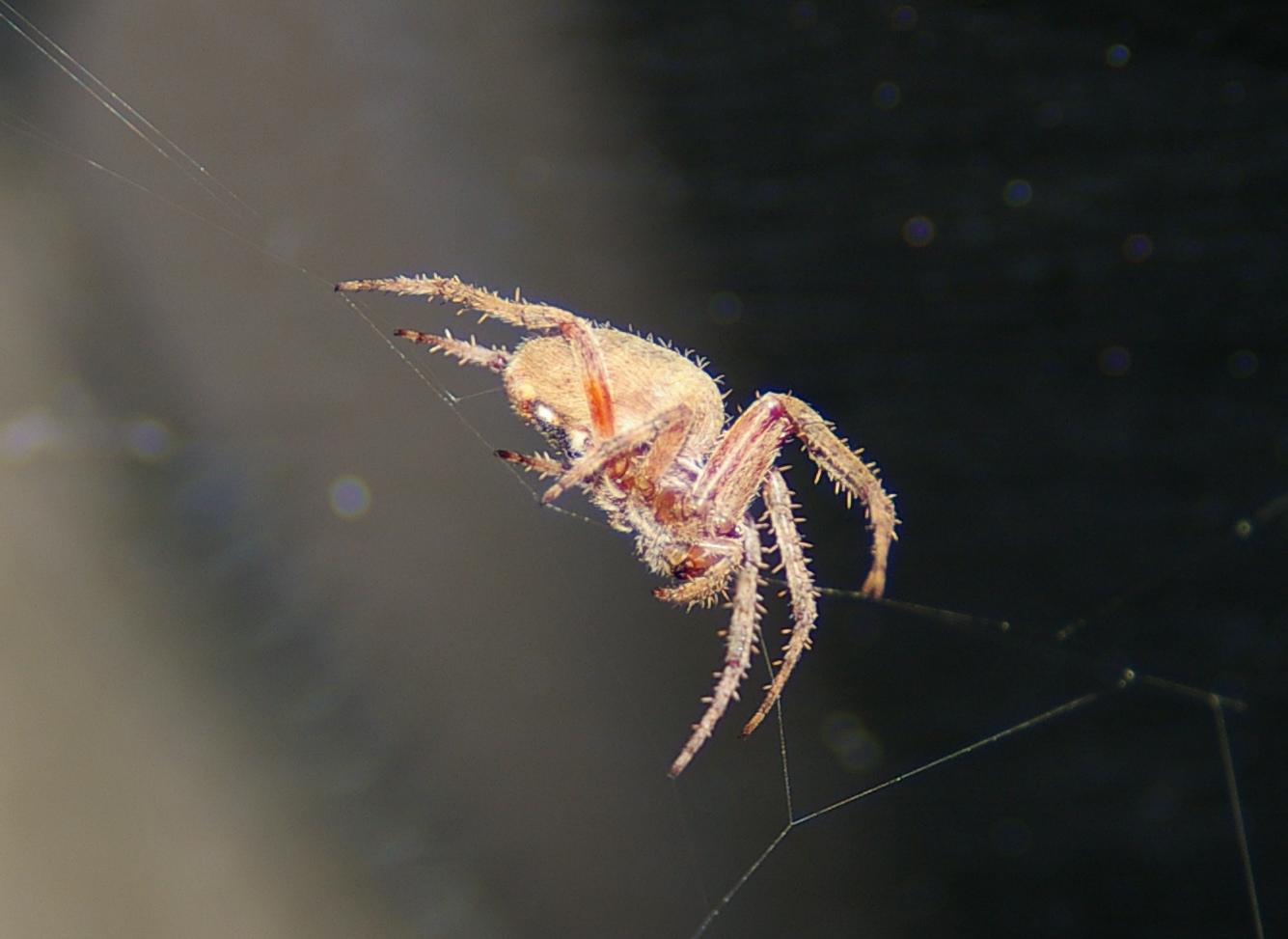 an peach-colored orb-weaver spider balanced on a few silken threads