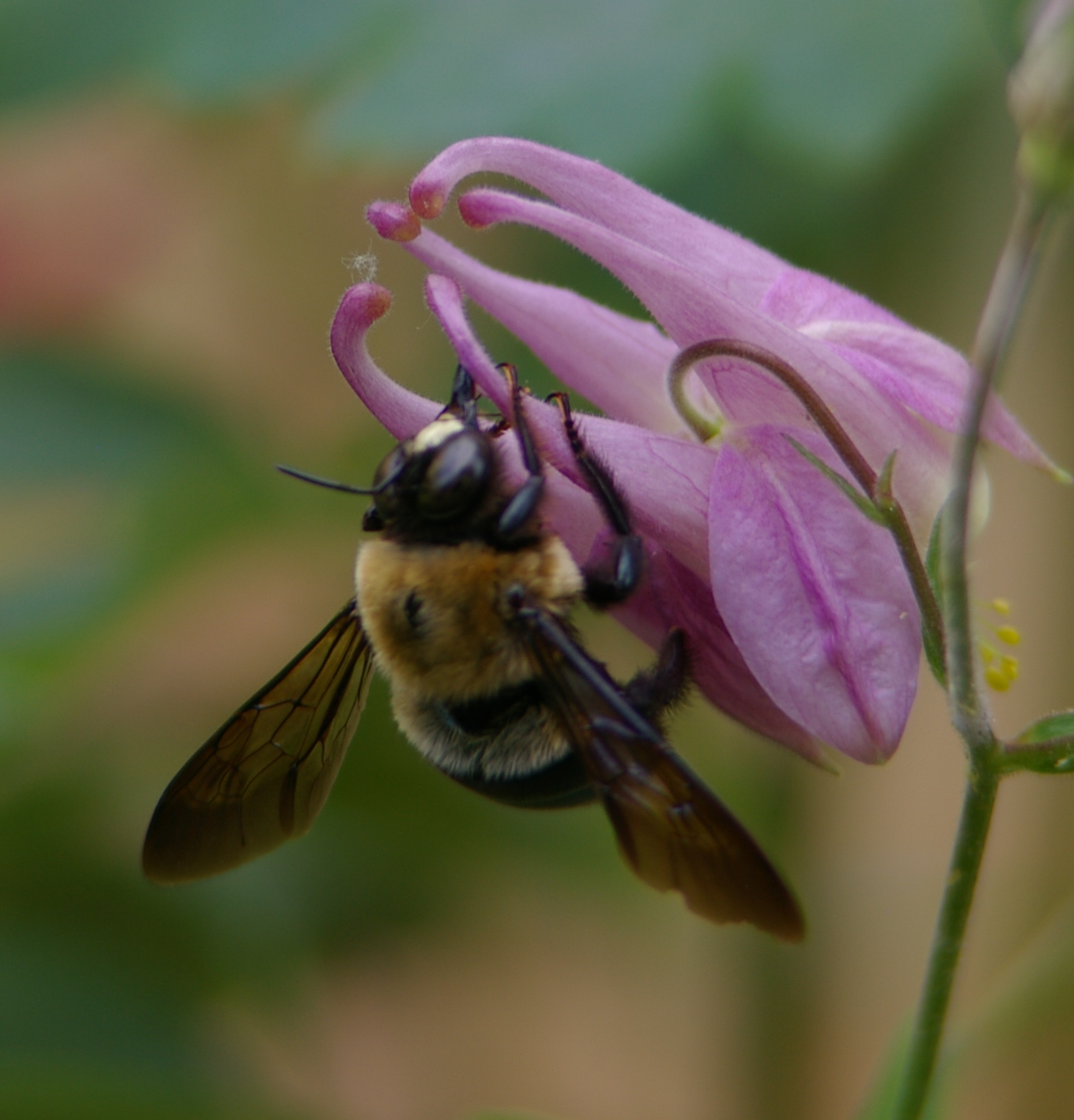 White-faced male carpenter bee stealing necar from Columbine flower