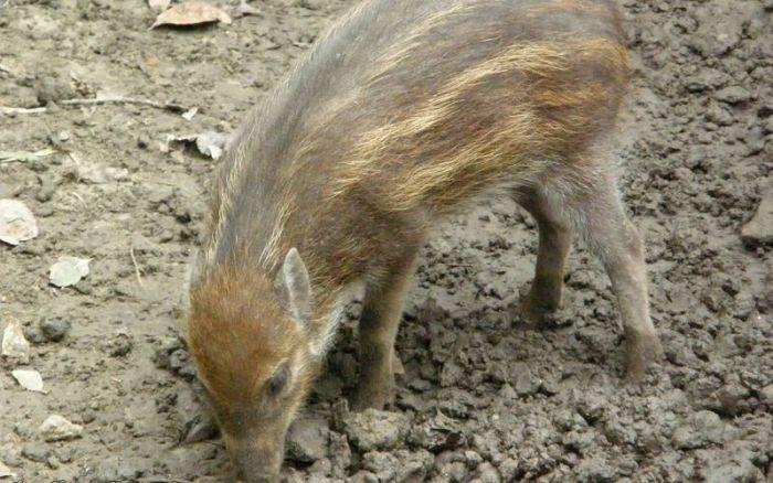 Поросенок висайской бородавчатой свиньи