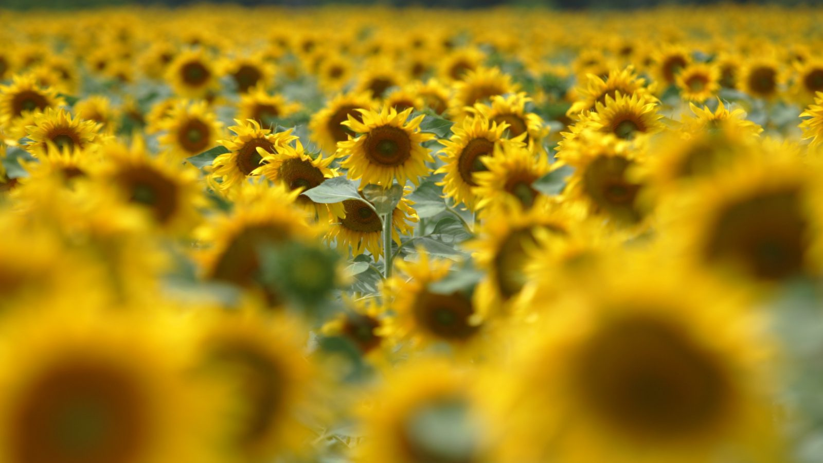 Sunflowers Have The Ability To Help Us Understand Climate Change