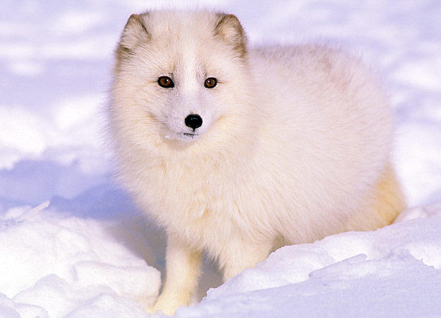 5 artic fox animal