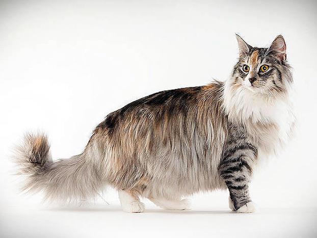 norwegian forest cat animal