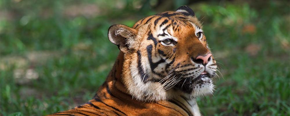 21 surprising tiger facts