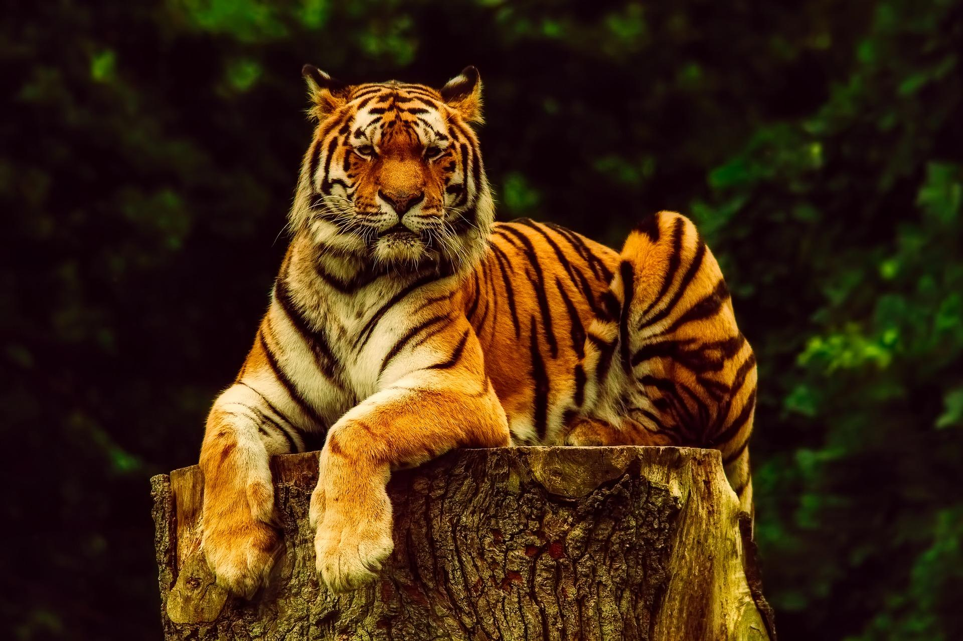 10 ways tigers are
