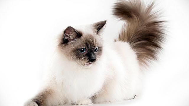 Cute Siamese Kittens Wallpaper Ragdoll Cats 101 Animal Planet
