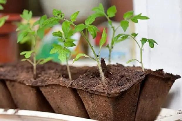 Plántulas de tomates en ollas de turba.