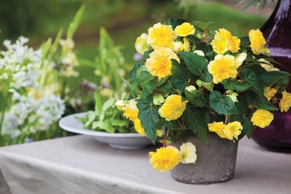 how-to-grow-begonia-in-flower-pots