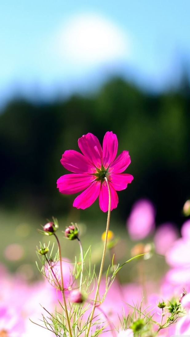 Pink flower wallpaper for iphone 5s wallsmiga pink cosmos flowers iphone se wallpaper wallpapers mightylinksfo