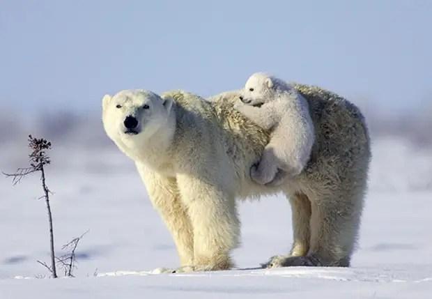 Сондай-ақ, «Теңіздегі» теңіздегі бумалар пакеттерінде полярлық аюлардың берерогтары байқалады