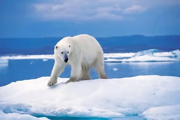 Солтүстік Мұзды мұхиттың солтүстік беткейі - полярлық аюдың басты мекен-жайы
