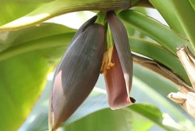 Цветок дарджилингского банана
