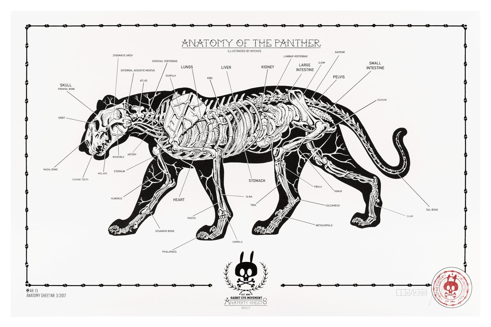 bear skull diagram 7 pin round wiring anatomy of the panther sheet no 13 rabbit eye