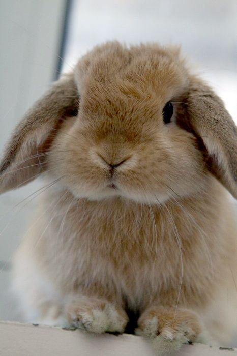 Baby Mini Lop Bunnies For Sale Near Me : bunnies, Rabbits, Arizona