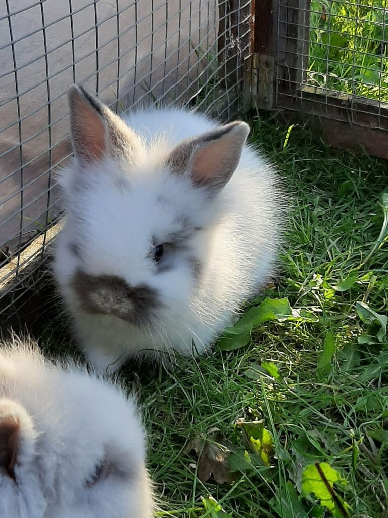 Live Bunnies For Sale Near Me : bunnies, Rabbits