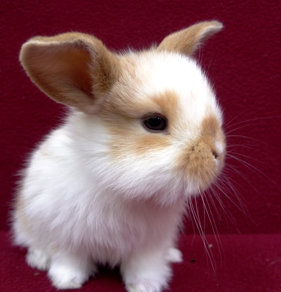 12 Mini Lop Bunnies for Sale Caldwell Idaho  Rabbits for Sale in Idaho