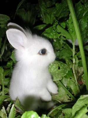 Dwarf Rabbits Near Me : dwarf, rabbits, Dwarf, Hotot, Rabbits, Kansas
