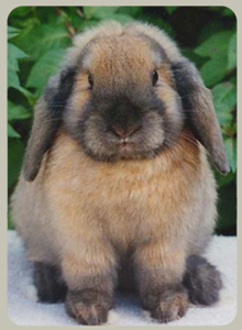 Mini Lop Rabbits for sale in the UK | Pets4Homes