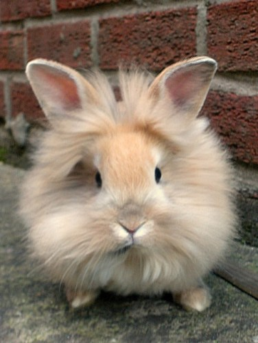 Where To Buy Baby Rabbits Near Me : where, rabbits, Lionhead, Rabbits, Wisconsin