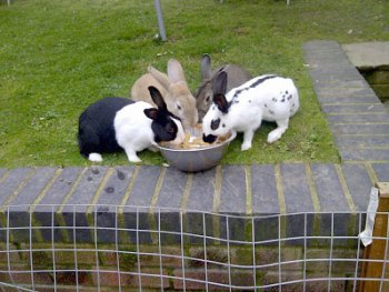 Four rabbits sharing a bowl of food