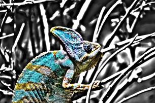 Coloured Chameleon