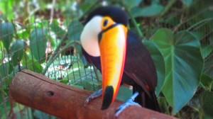 Toucan, Parque Das Aves, Foz do Iguacu