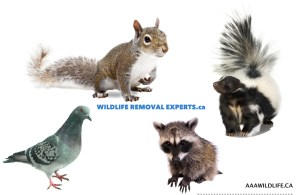WILDLIFE REMOVAL EXPERTS - AAAWILDLIFE.ca