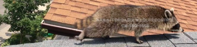 Affordable Wildlife Control, Affordable Raccoon Removal, economical wildlife control, cost-effective wildlife control