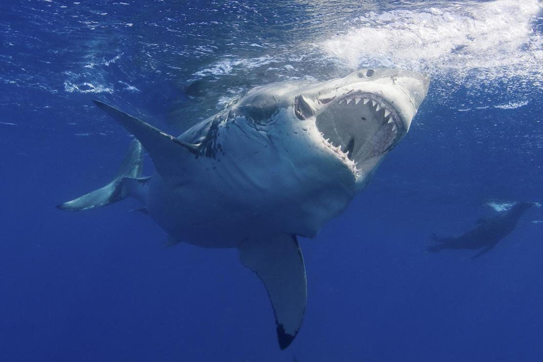 great-white-shark.adapt.1900.1
