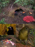 Male bowerbirds create incredible structures to woo a mate. The Satin Bowerbird (left) paints his bower with crushed berries, while Vogelkop's Bowerbird (top) creates piles of objects which show his eye for colour.