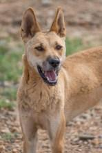 Happy Dingo