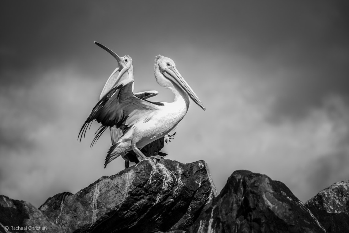 Pelican: 'The Pelicans' in Black & White by Racheal Christian - Photographed at Eden Wharf in NSWrachealchristianphotography.com
