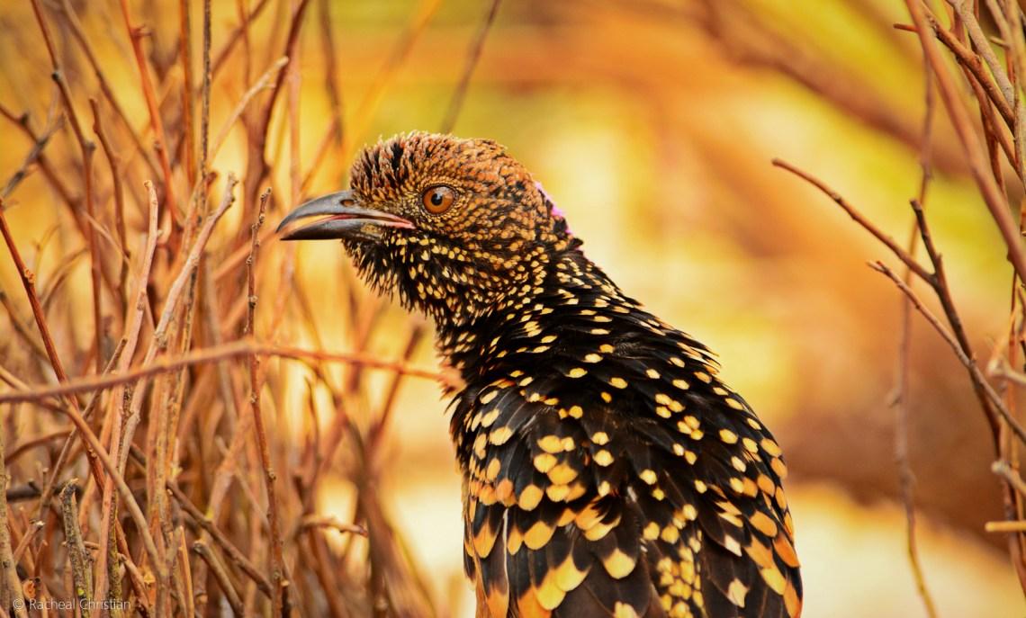 Western Bowerbird, Chlamydera guttata by Racheal Christian - rachealchristianphotography.com