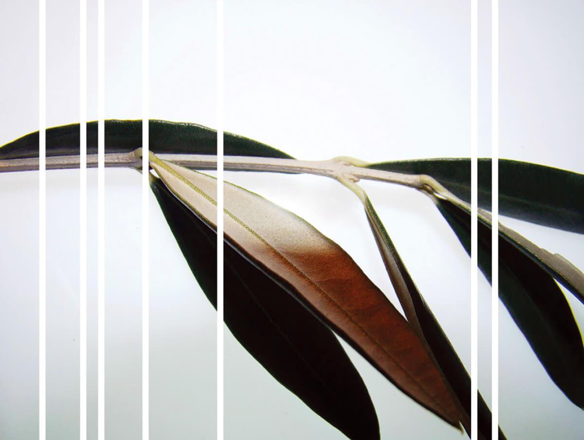 rachela abbate Olivo_2_herbarium-series-by-Rachela-Abbate herbarium