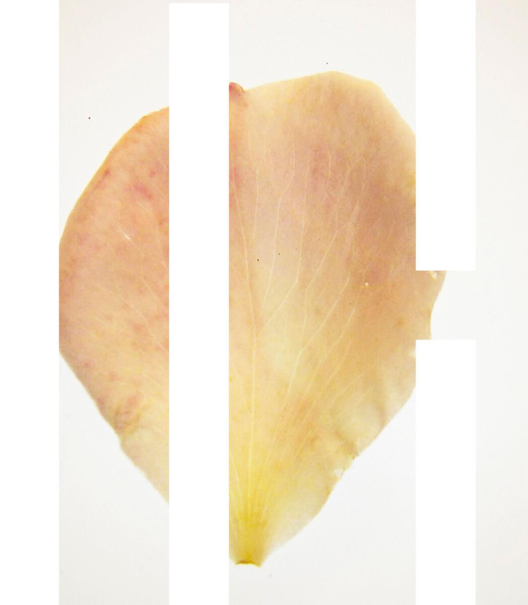 rachela abbate Rosa_2_herbarium_Rachela-Abbate herbarium
