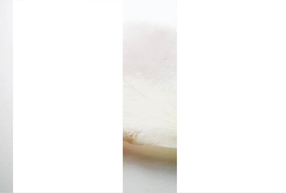 rachela abbate Rosa_6_herbarium_Rachela-Abbate- herbarium